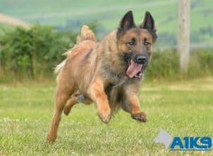 A1K9 Family Protection Dog Bandit Run