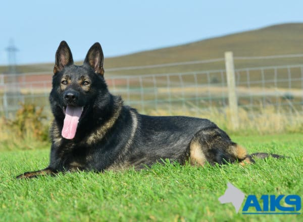 A1K9 Family Protection Dog Chase Down