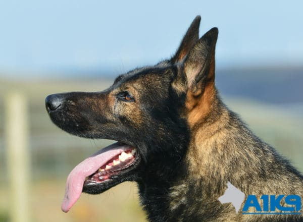 A1K9 Family Protection Dog Chase Head