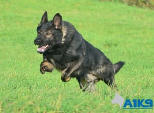 A1K9 Family Protection Dog Chase Run