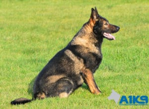 A1K9 Family Protection Dog Chase Sit
