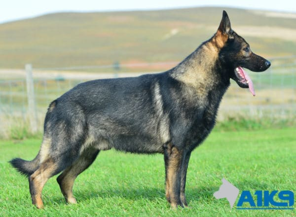 A1K9 Family Protection Dog Chase Stand