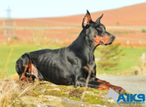 A1K9 Family Protection Dog Dobermann Rocco Down