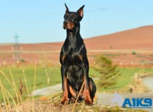 A1K9 Family Protection Dog Dobermann Rocco Sit