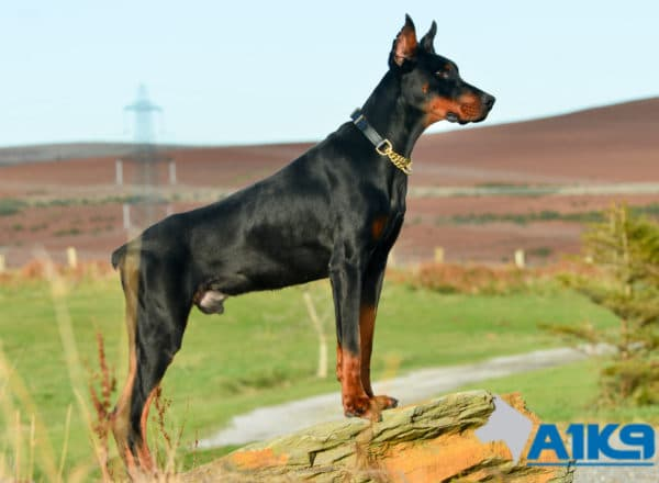 A1K9 Family Protection Dog Dobermann Rocco Stand