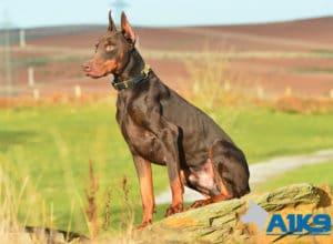 A1K9 Family Protection Dog Dobermann Thor Sit