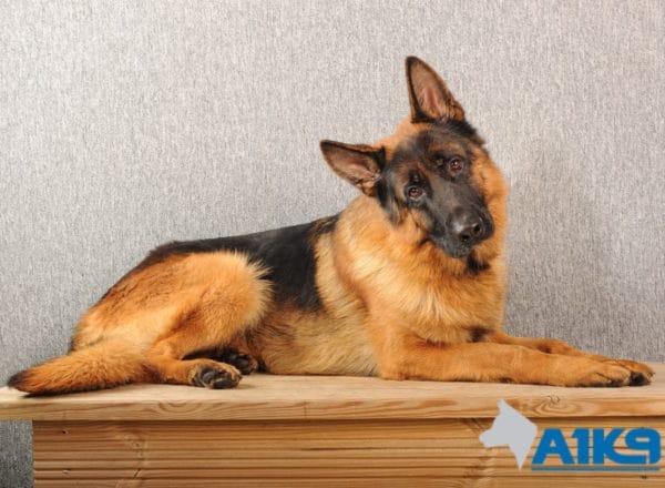 A1K9 Family Protection Dog Ilton Down
