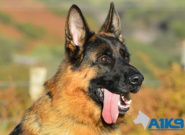 A1K9 Family Protection Dog Ilton Head