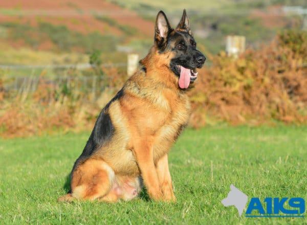 A1K9 Family Protection Dog Ilton Sit