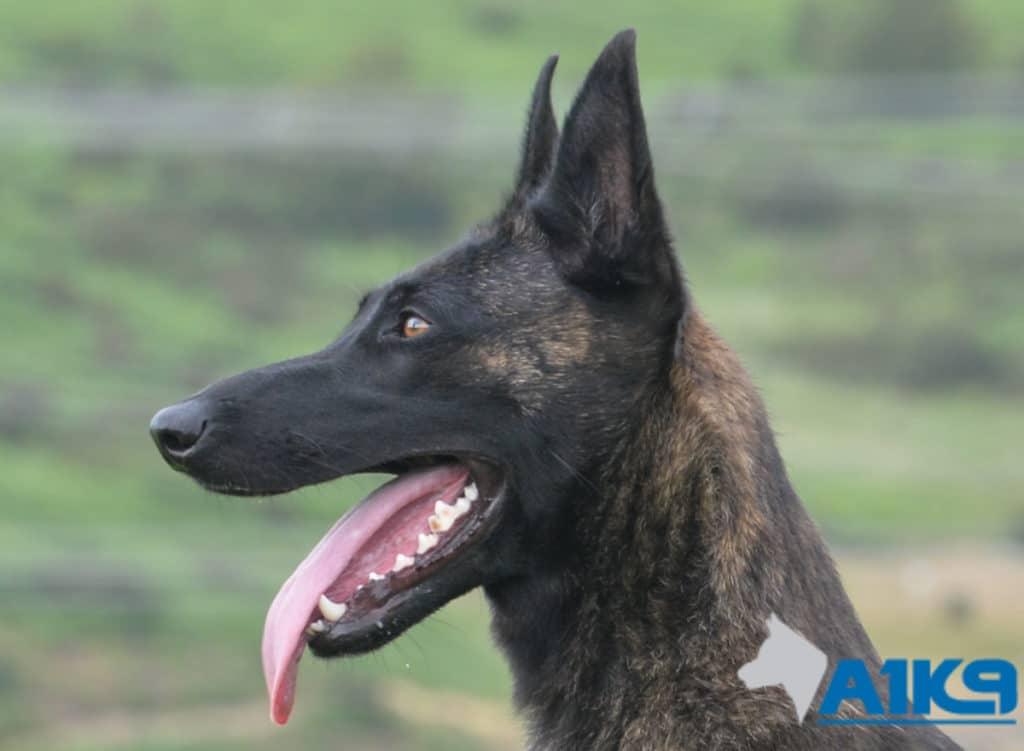 A1K9 Family Protection Dog Kaatje Head