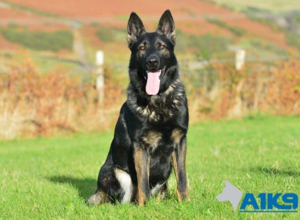 A1K9 Family Protection Dog Lobo Sit