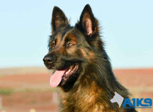 A1K9 Family Protection Dog Malinois Bor Head