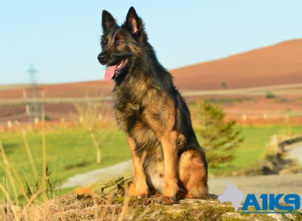 A1K9 Family Protection Dog Malinois Bor Sit