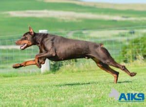 A1K9-Family-Protection-Dog-Thor-Run-5805