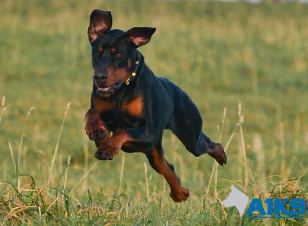A1K9 Trained Obedient Pet Dobermann Monty Run