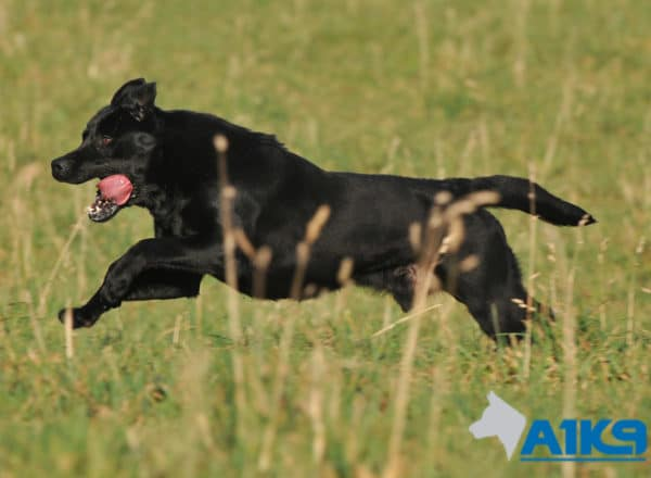 A1K9 Trained Obedient Pet Labrador Mick Run
