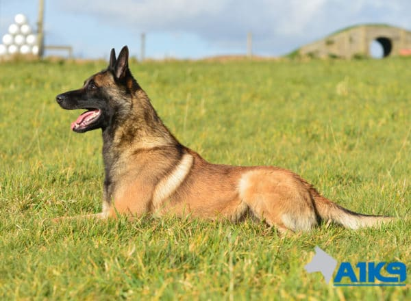 A1K9-Family-Protection-Dog-App-Down-3349