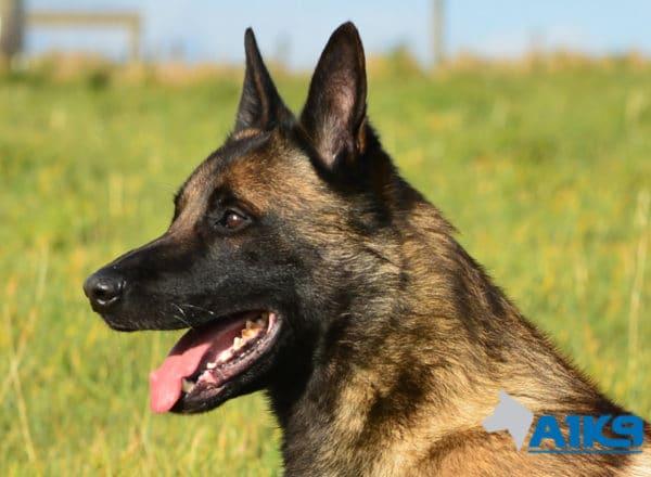 A1K9-Family-Protection-Dog-App-Head-3352