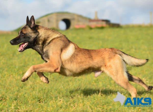 A1K9-Family-Protection-Dog-App-Run-3398