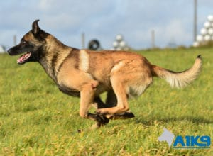 A1K9-Family-Protection-Dog-App-Run-3400