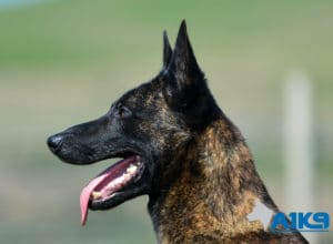 A1K9-Family-Protection-Dog-Duval-Head-4449