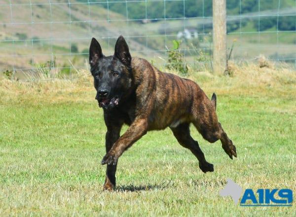 A1K9-Family-Protection-Dog-Duval-Run-4505