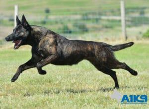 A1K9-Family-Protection-Dog-Kaatje-Run-4656