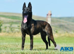 A1K9-Family-Protection-Dog-Kaatje-Stand-4571