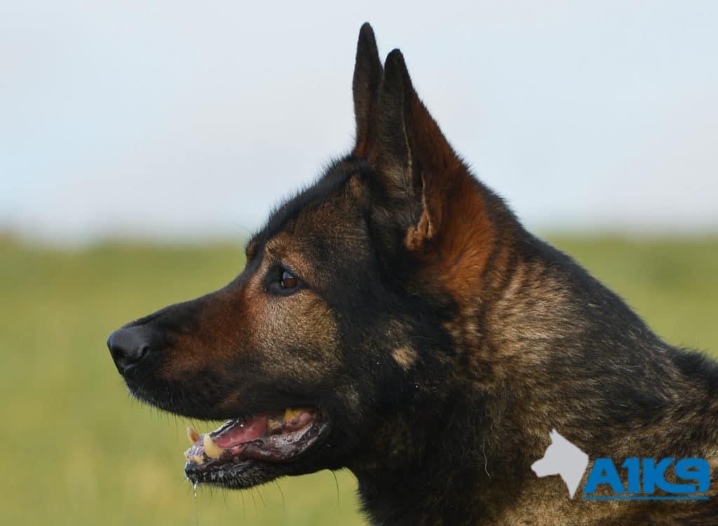 A1K9-Family-Protection-Dog-Lex-Head-2928