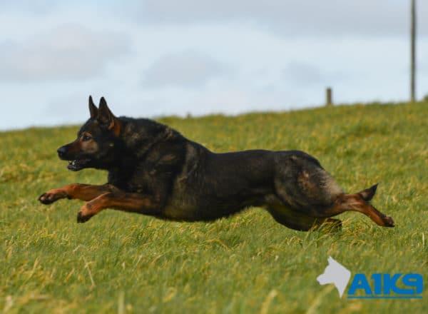 A1K9-Family-Protection-Dog-Lex-Run-2985