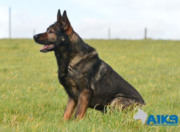A1K9-Family-Protection-Dog-Lex-Sit-2940