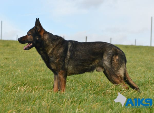 A1K9-Family-Protection-Dog-Lex-Stand-2957