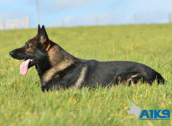 A1K9-Family-Protection-Dog-Lobo-Lobo-Down-3050