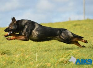 A1K9-Family-Protection-Dog-Lobo-Lobo-Run-3145