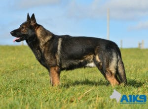 A1K9-Family-Protection-Dog-Lobo-Stand-3072