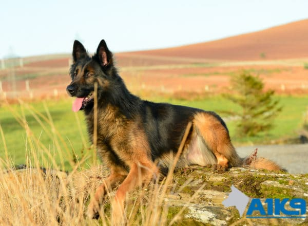A1K9-Family-Protection-Dog-Malinois-Bor-2115