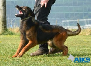 A1K9-Family-Protection-Dog-Malinois-Bor-Protection-Work-3873