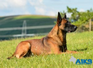 A1K9-Family-Protection-Dog-Malinois-Quinn-Down-4971