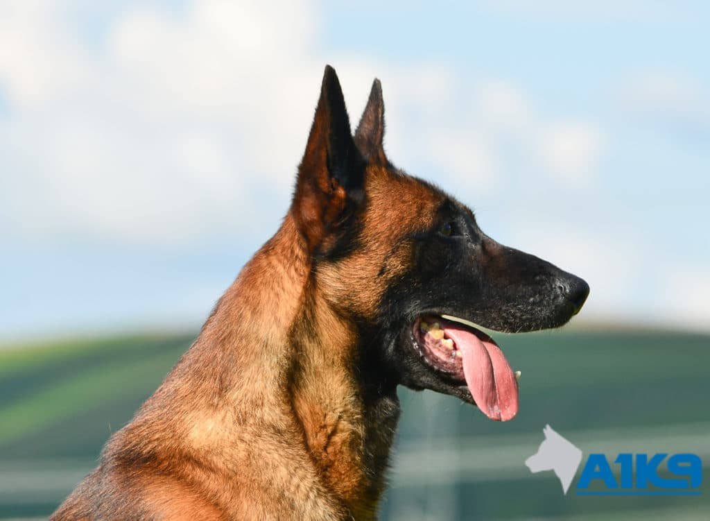 A1K9-Family-Protection-Dog-Malinois-Quinn-Head-4979