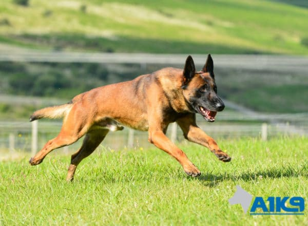 A1K9-Family-Protection-Dog-Malinois-Quinn-Run-4989
