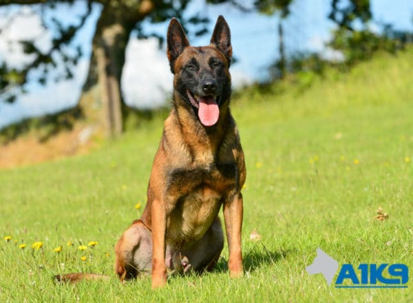 A1K9-Family-Protection-Dog-Malinois-Quinn-Sit-4959