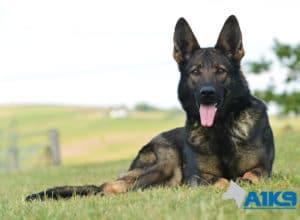 A1K9-Family-Protection-Dog-Mia-Down-4810