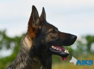A1K9-Family-Protection-Dog-Mia-Head-4798