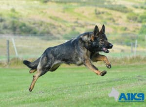A1K9-Family-Protection-Dog-Mia-Run-4907