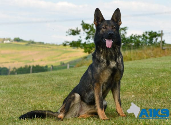 A1K9-Family-Protection-Dog-Mia-Sit-4803