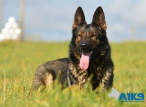 A1K9-Family-Protection-Dog-Pinda-Down-3173