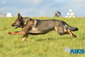 A1K9-Family-Protection-Dog-Pinda-Run-3245