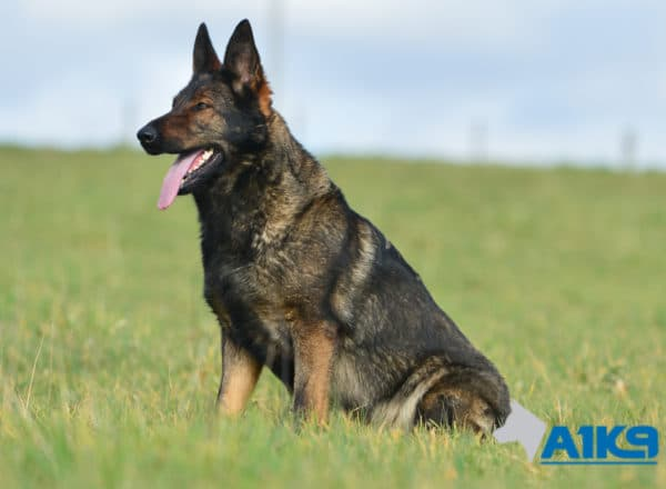 A1K9-Family-Protection-Dog-Pinda-Stand-3158