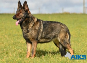 A1K9-Family-Protection-Dog-Pinda-Stand-3204
