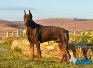 A1K9 Protection dog Thor Standing up